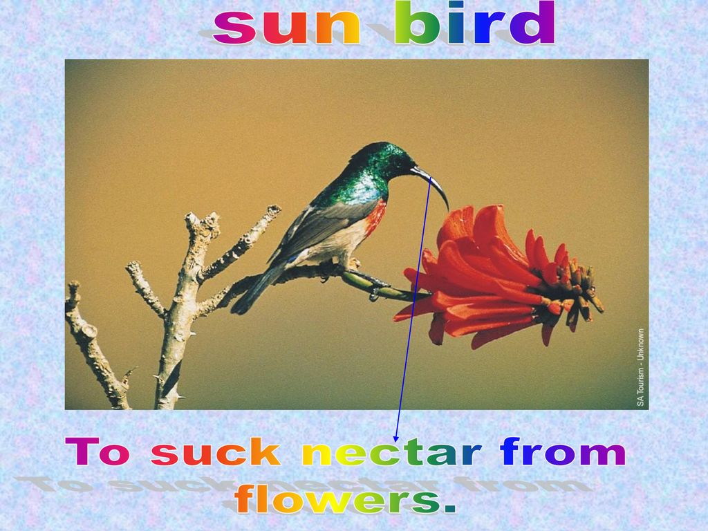 sun bird To suck nectar from flowers.