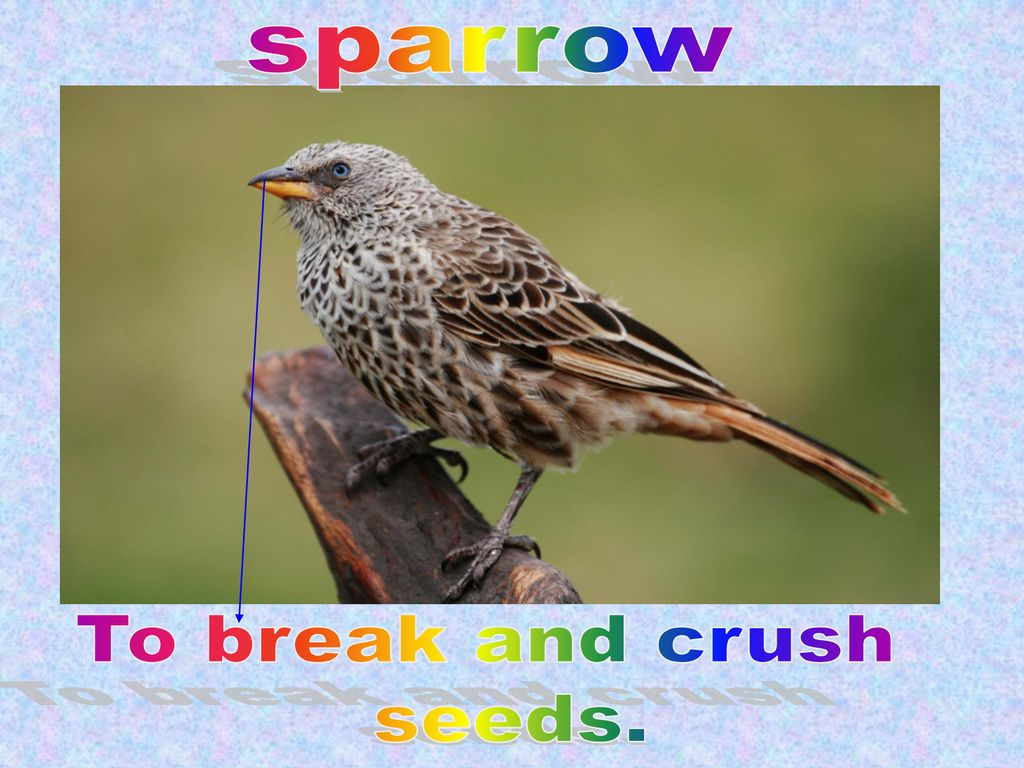 sparrow To break and crush seeds.