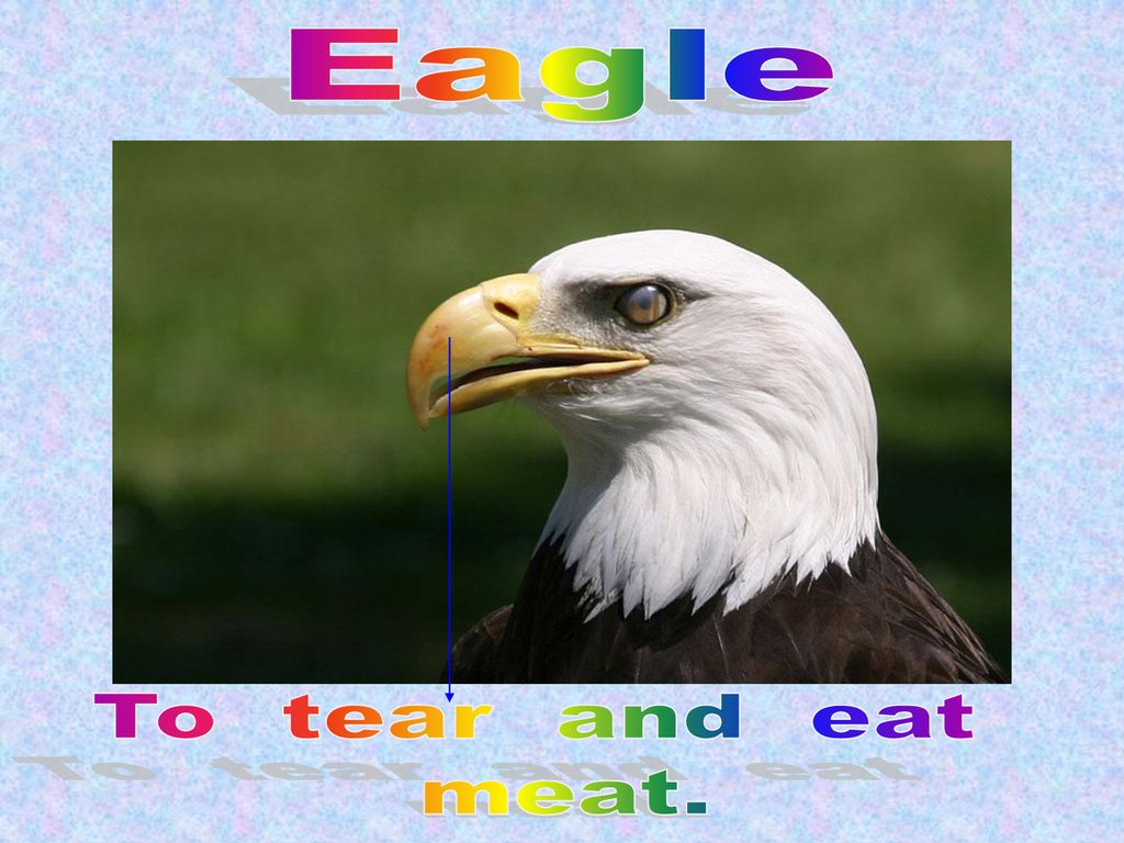 Eagle To tear and eat meat.