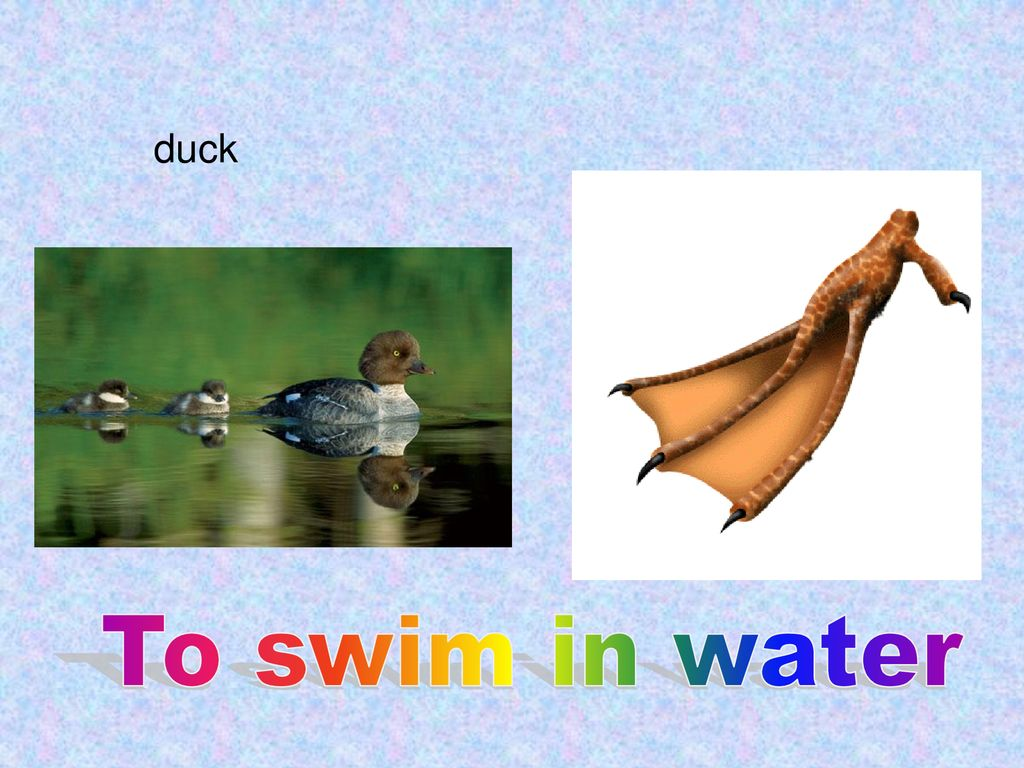 duck To swim in water