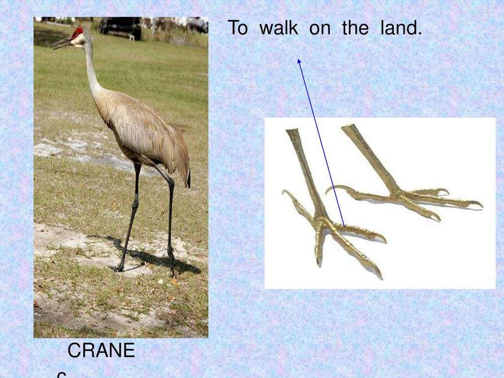 To walk on the land. CRANE c