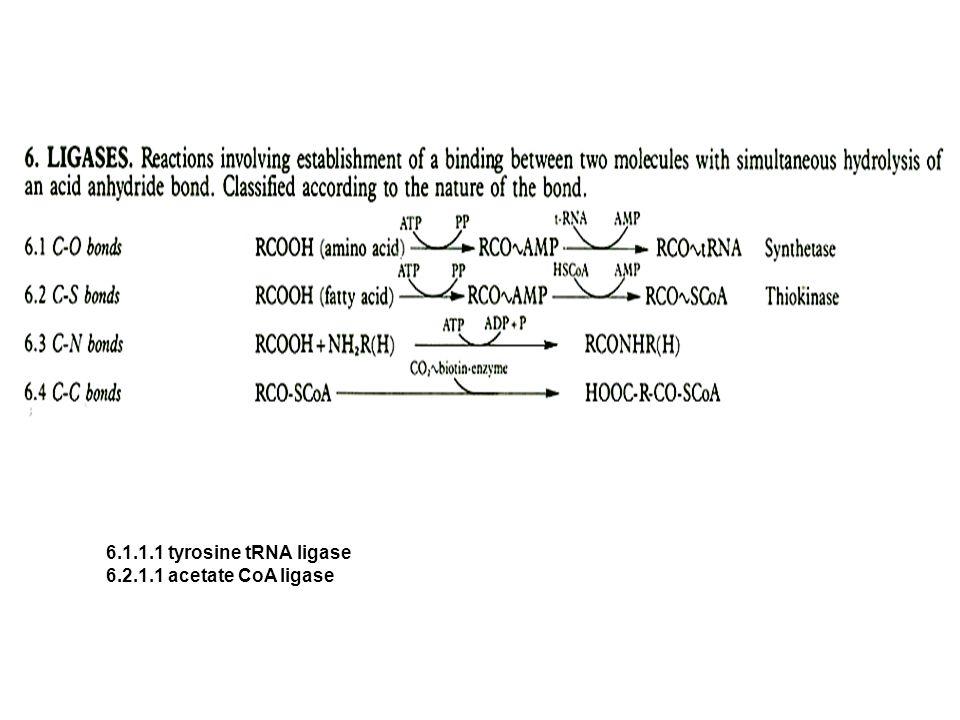 6.1.1.1 tyrosine tRNA ligase 6.2.1.1 acetate CoA ligase