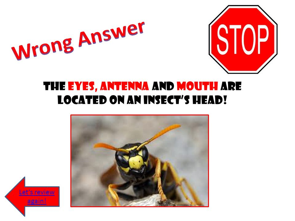 The eyes, antenna and mouth are located on an insect's head!