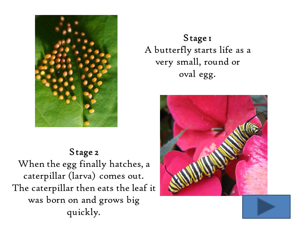 A butterfly starts life as a very small, round or oval egg.