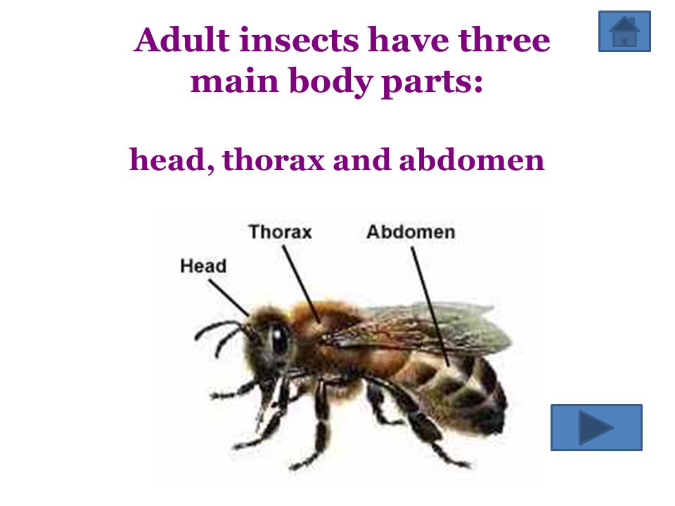 Adult insects have three main body parts: head, thorax and abdomen