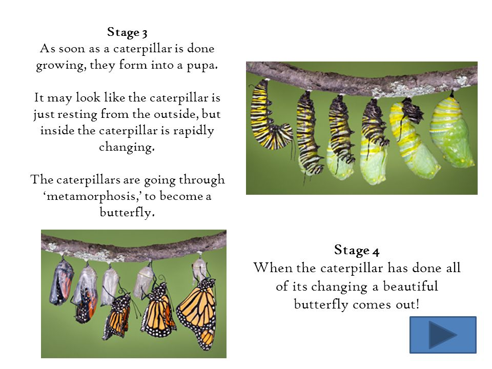 As soon as a caterpillar is done growing, they form into a pupa.