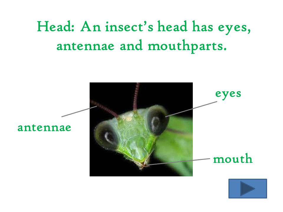 Head: An insect's head has eyes, antennae and mouthparts.