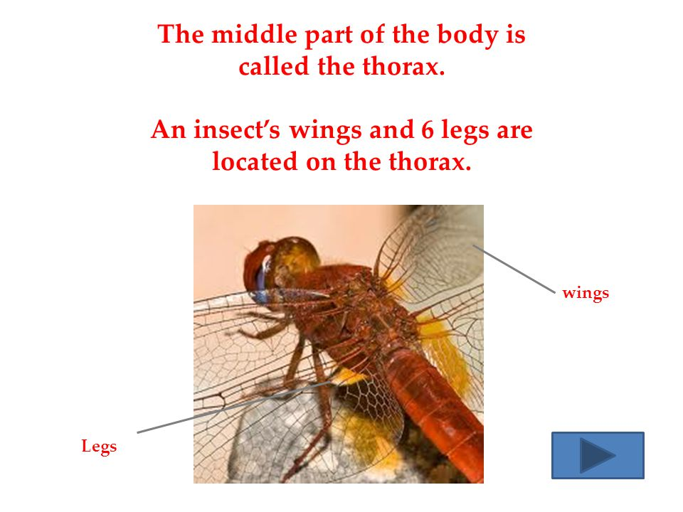 The middle part of the body is called the thorax