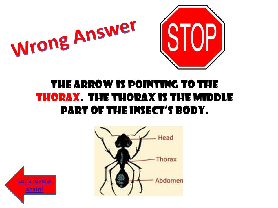 Wrong Answer The arrow is pointing to the thorax. The thorax is the middle part of the insect's body.