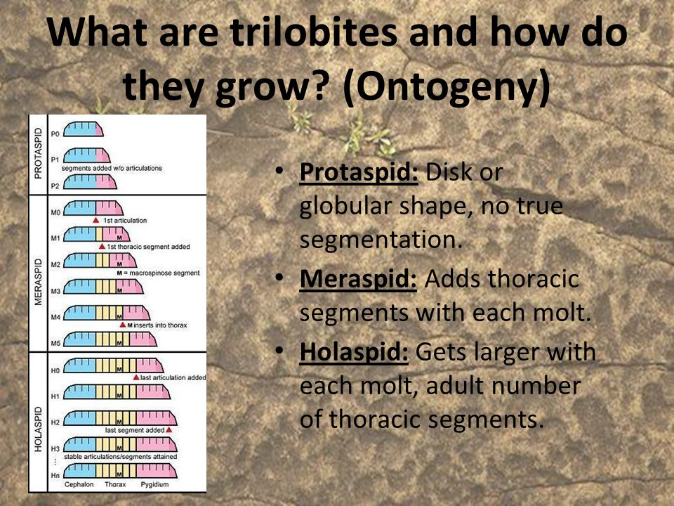 What are trilobites and how do they grow (Ontogeny)