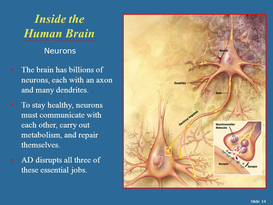 Inside the Human Brain Neurons. The brain has billions of neurons, each with an axon and many dendrites.