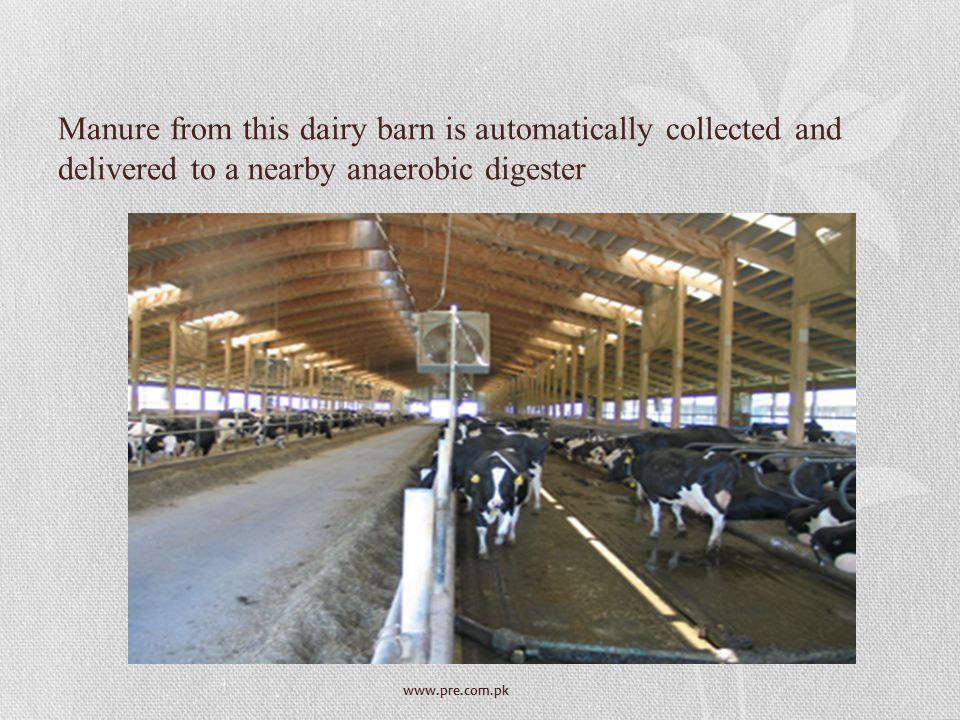 Manure from this dairy barn is automatically collected and delivered to a nearby anaerobic digester