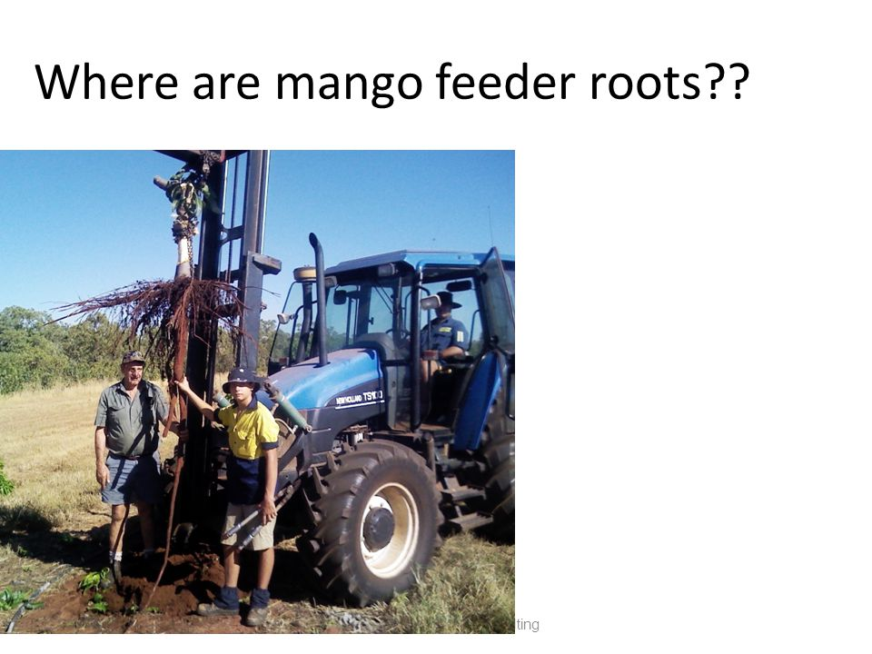 Where are mango feeder roots