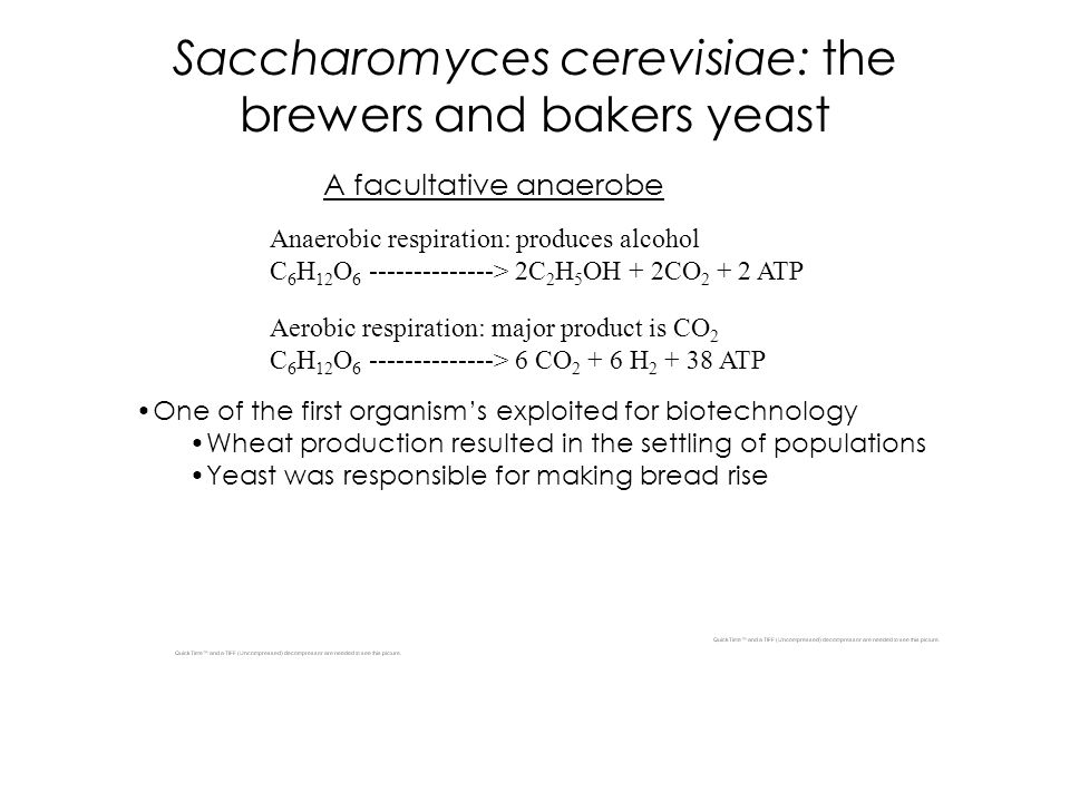 Saccharomyces cerevisiae: the brewers and bakers yeast