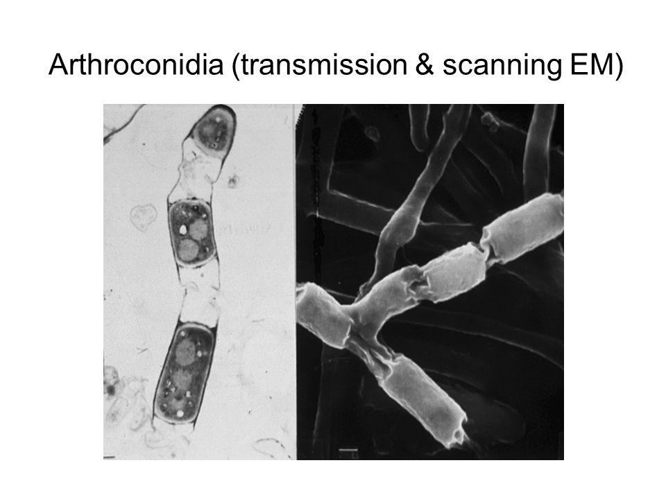 Arthroconidia (transmission & scanning EM)