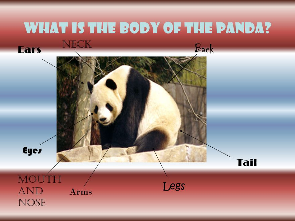 What is The body of the panda