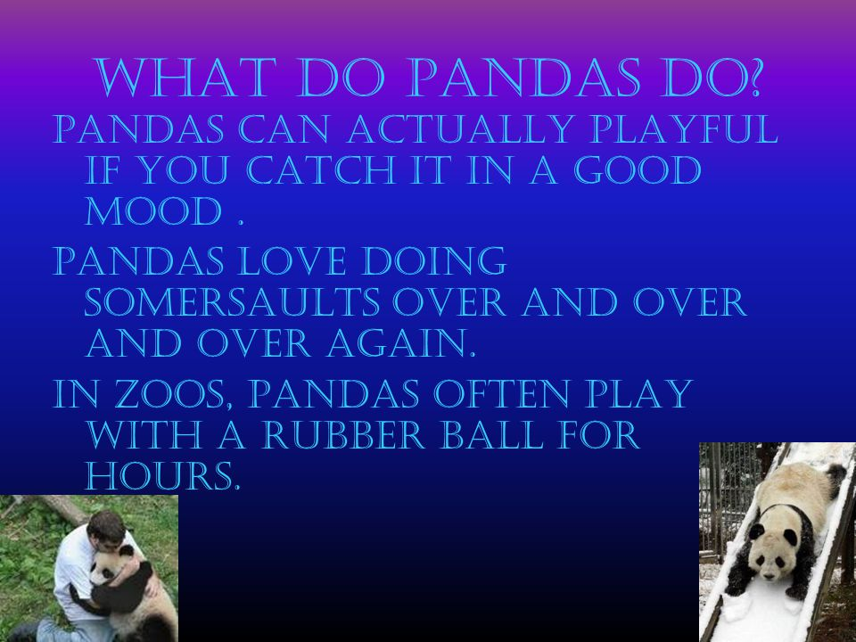 What do Pandas do Pandas can actually playful if you catch it in a good mood . Pandas love doing somersaults over and over and over again.