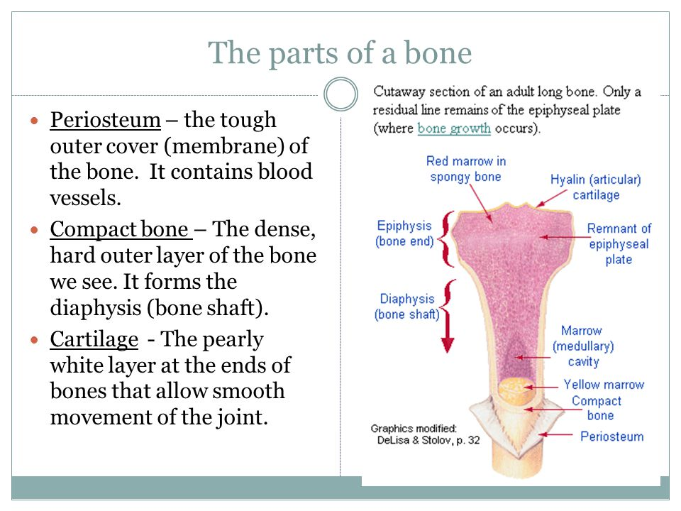 The parts of a bone Periosteum – the tough outer cover (membrane) of the bone. It contains blood vessels.