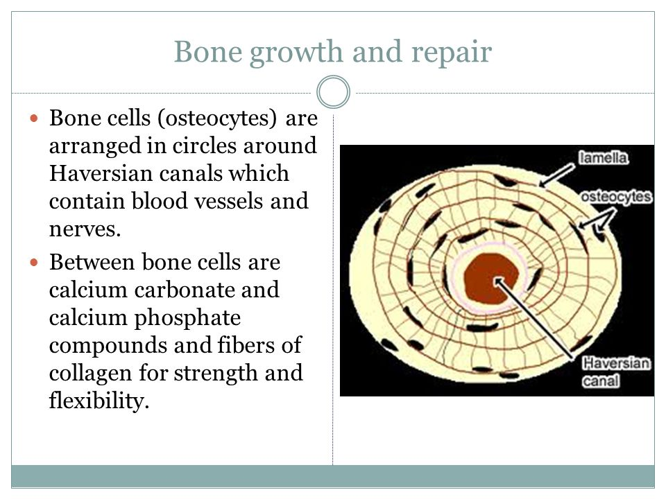 Bone growth and repair Bone cells (osteocytes) are arranged in circles around Haversian canals which contain blood vessels and nerves.