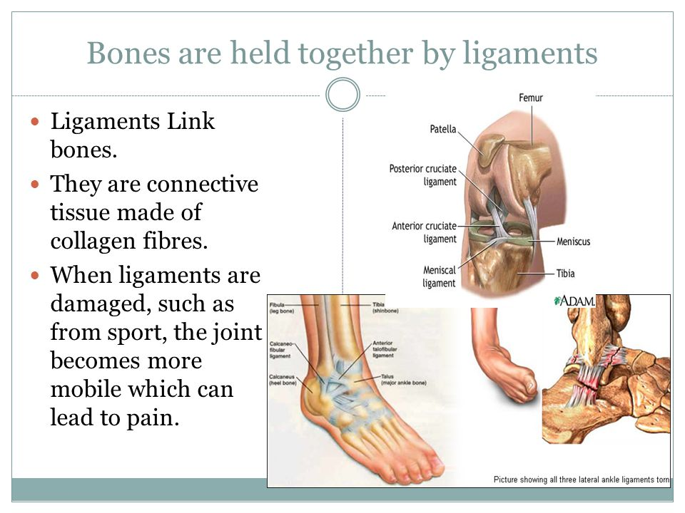Bones are held together by ligaments