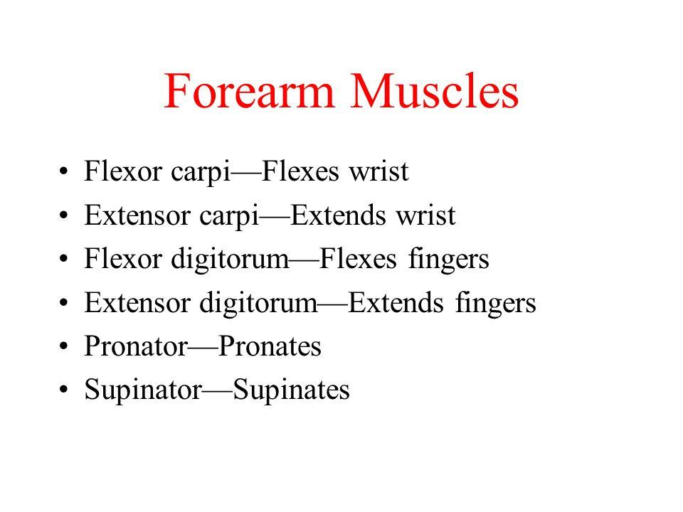 Forearm Muscles Flexor carpi—Flexes wrist Extensor carpi—Extends wrist