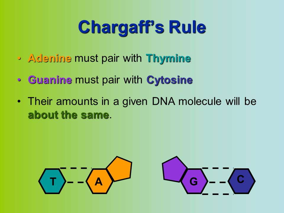 Chargaff's Rule Adenine must pair with Thymine