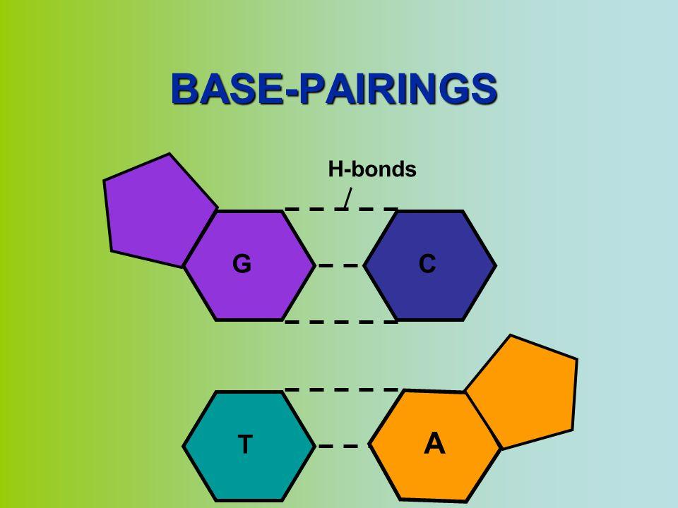 BASE-PAIRINGS C G H-bonds T A
