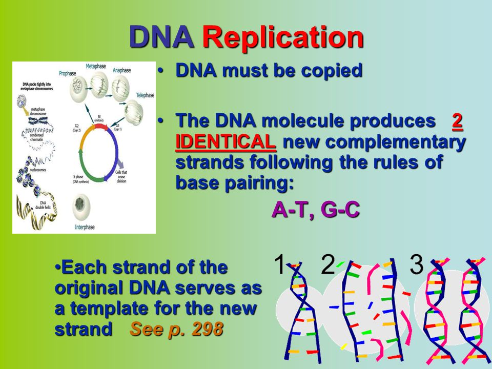 DNA Replication A-T, G-C DNA must be copied