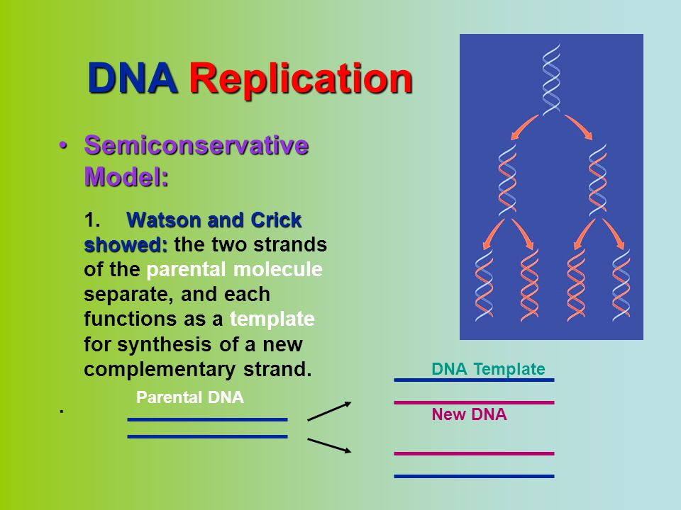 DNA Replication Semiconservative Model: .