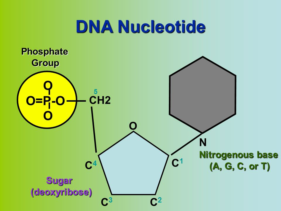 DNA Nucleotide O O=P-O N CH2 O C1 C4 C3 C2 Phosphate Group