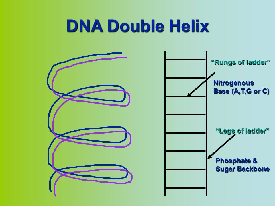 DNA Double Helix Rungs of ladder Nitrogenous Base (A,T,G or C)