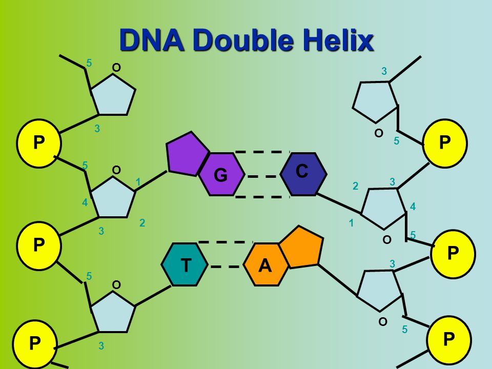 DNA Double Helix P O 1 2 3 4 5 P O 1 2 3 4 5 G C T A