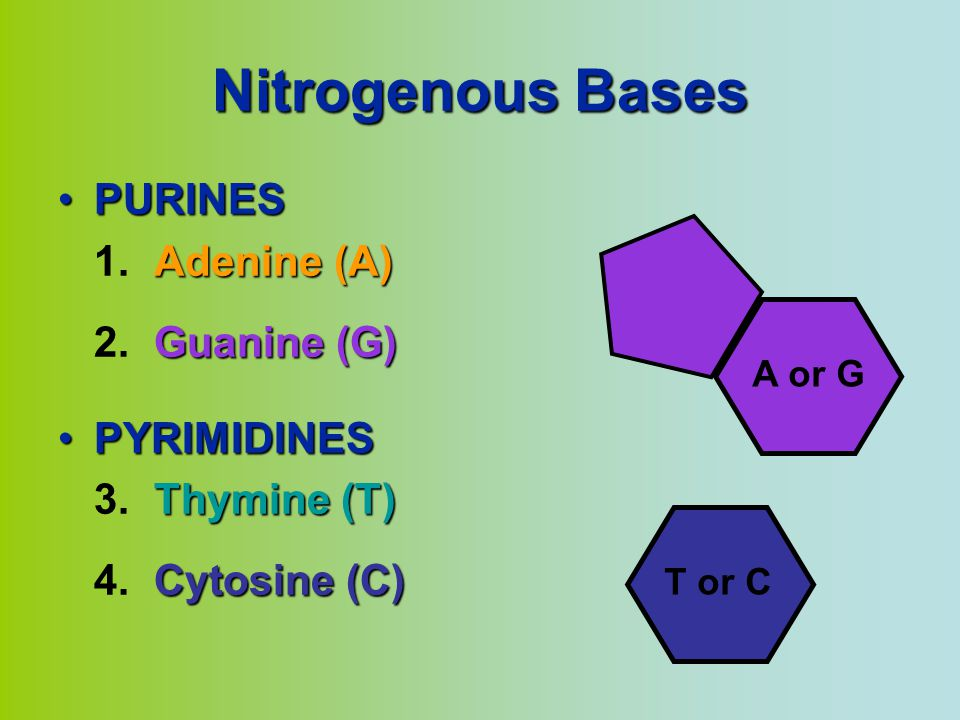 Nitrogenous Bases PURINES 1. Adenine (A) 2. Guanine (G) PYRIMIDINES