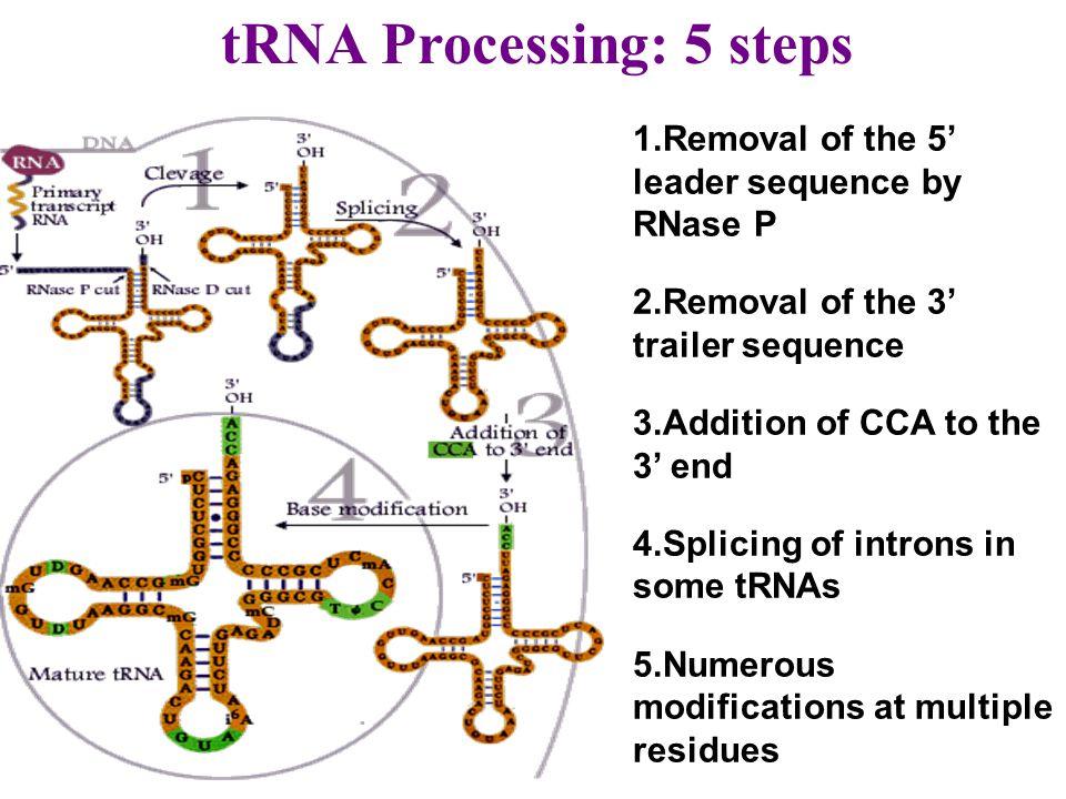 tRNA Processing: 5 steps
