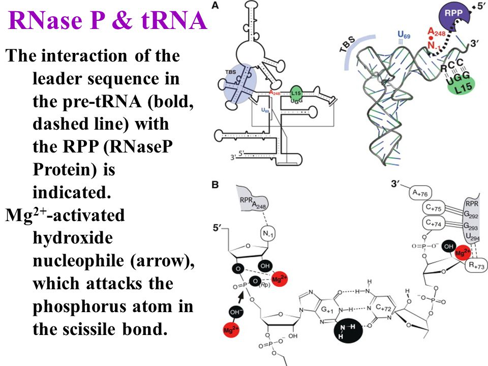 RNase P & tRNA The interaction of the leader sequence in the pre-tRNA (bold, dashed line) with the RPP (RNaseP Protein) is indicated.