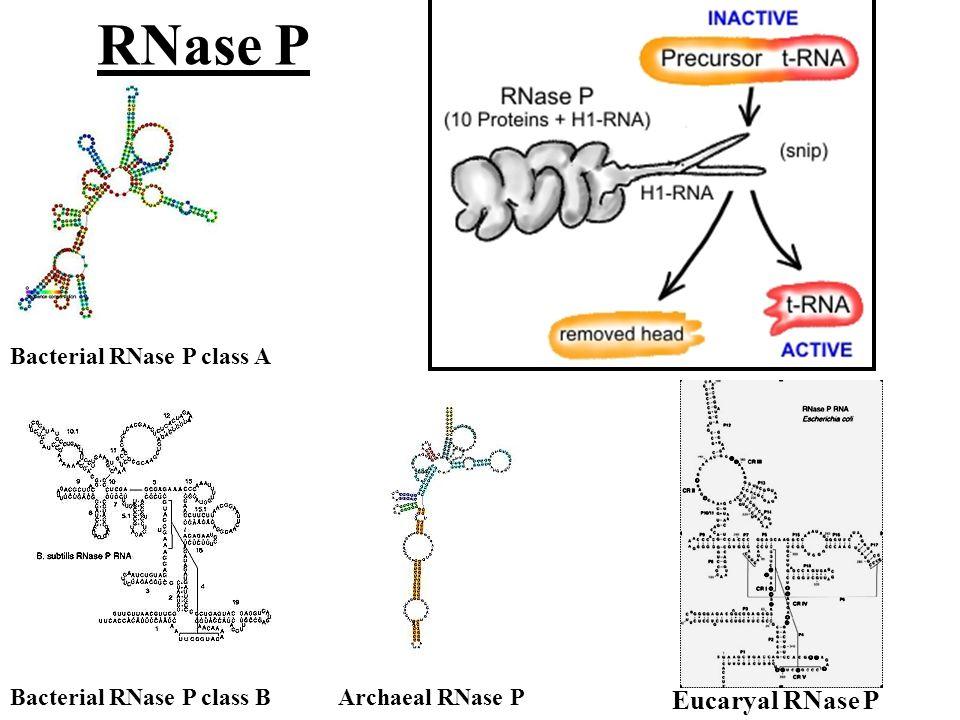 RNase P Eucaryal RNase P Bacterial RNase P class A