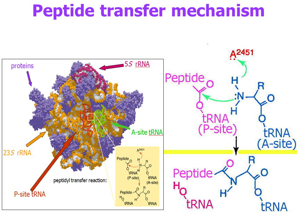 Peptide transfer mechanism
