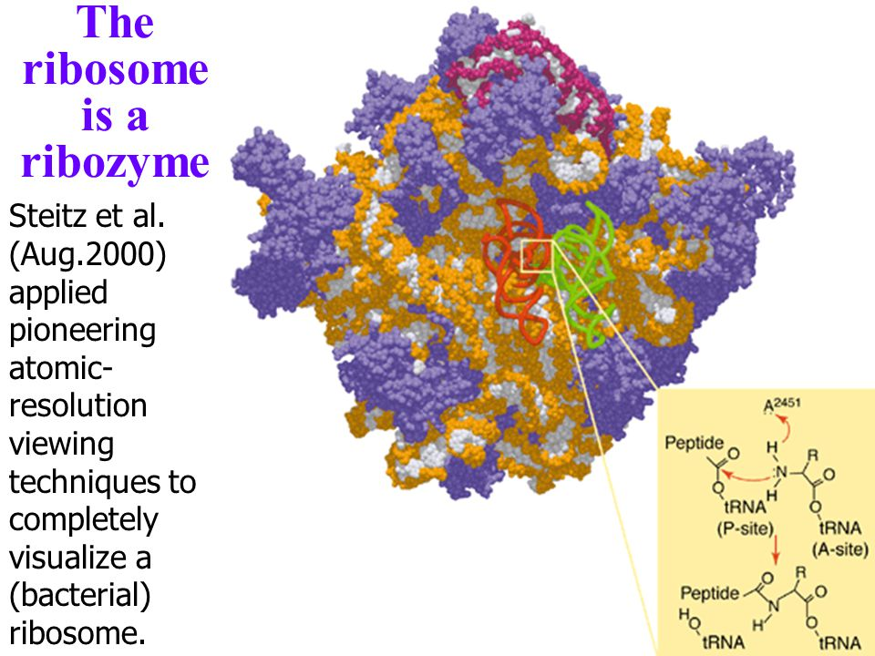 The ribosome is a ribozyme