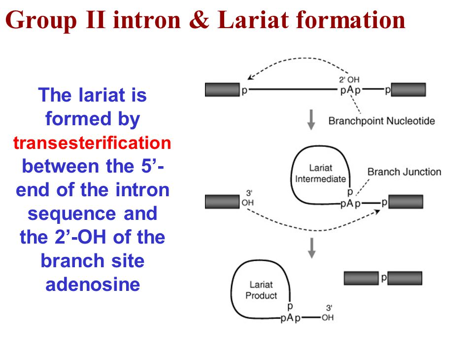 Group II intron & Lariat formation