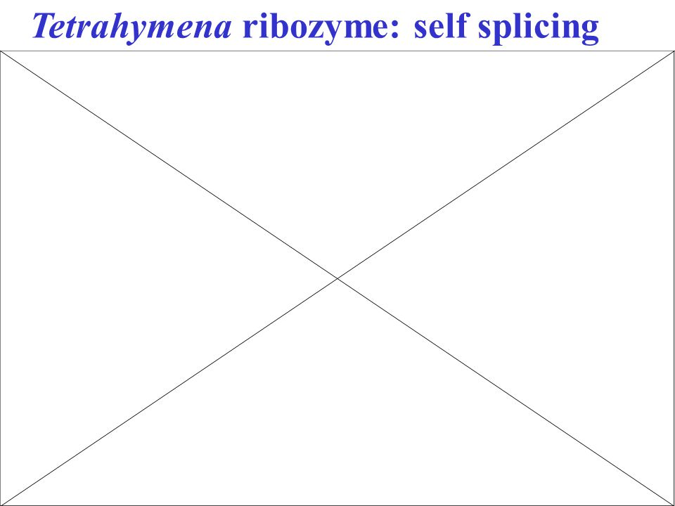 Tetrahymena ribozyme: self splicing