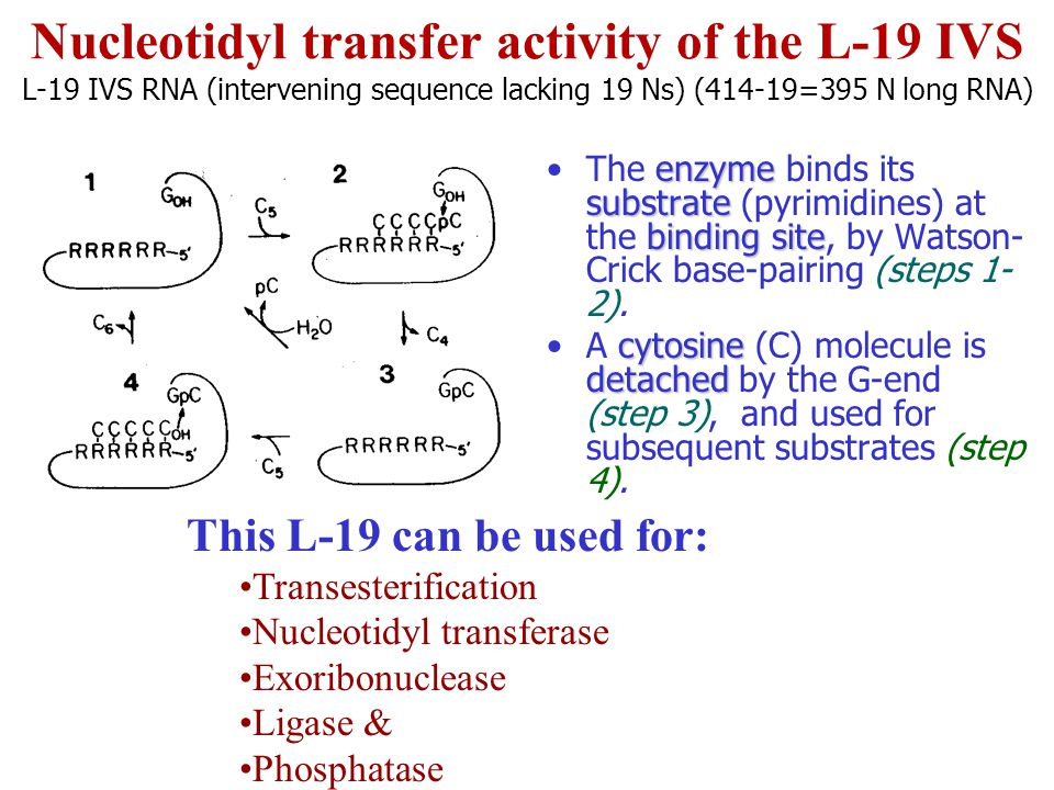 Nucleotidyl transfer activity of the L-19 IVS L-19 IVS RNA (intervening sequence lacking 19 Ns) (414-19=395 N long RNA)