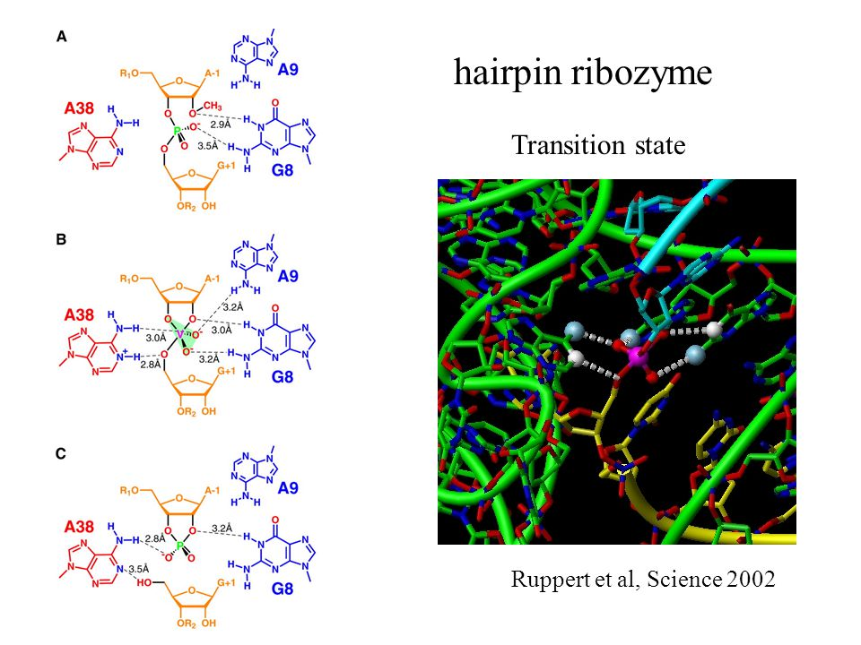 hairpin ribozyme Transition state Ruppert et al, Science 2002