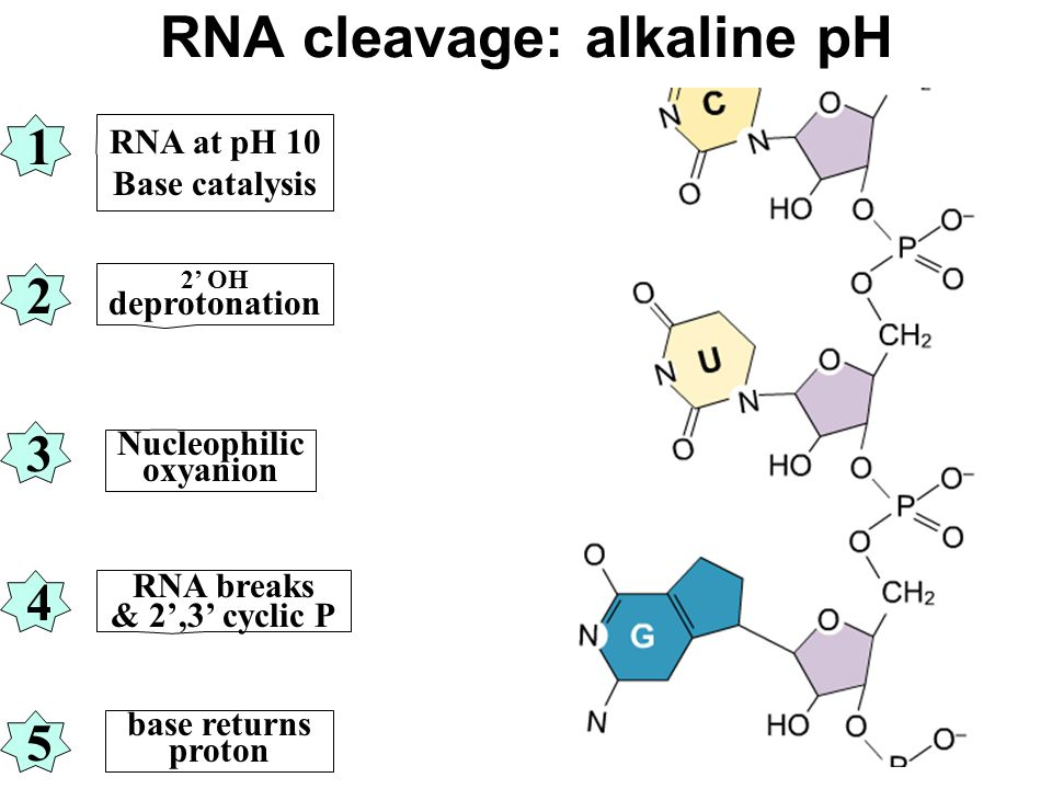 RNA cleavage: alkaline pH