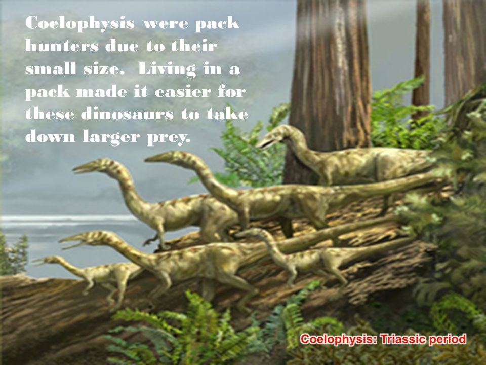 Coelophysis were pack hunters due to their small size