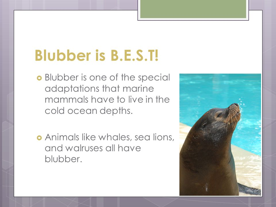 Blubber is B.E.S.T! Blubber is one of the special adaptations that marine mammals have to live in the cold ocean depths.