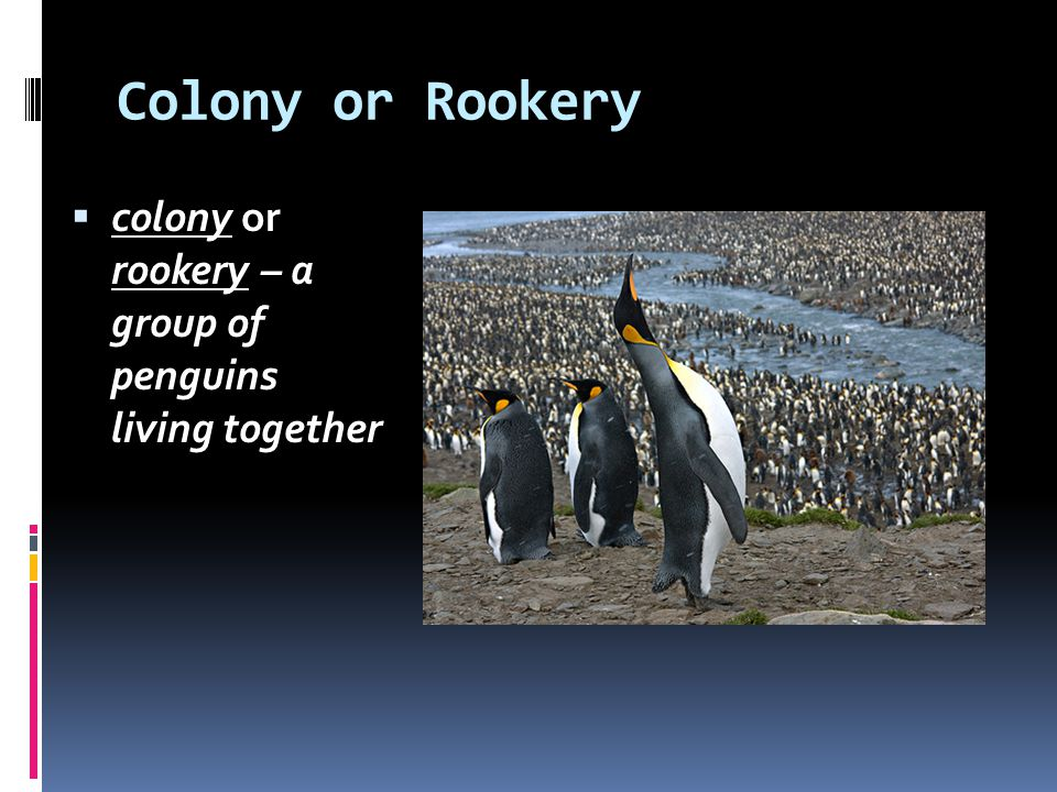 Colony or Rookery colony or rookery – a group of penguins living together
