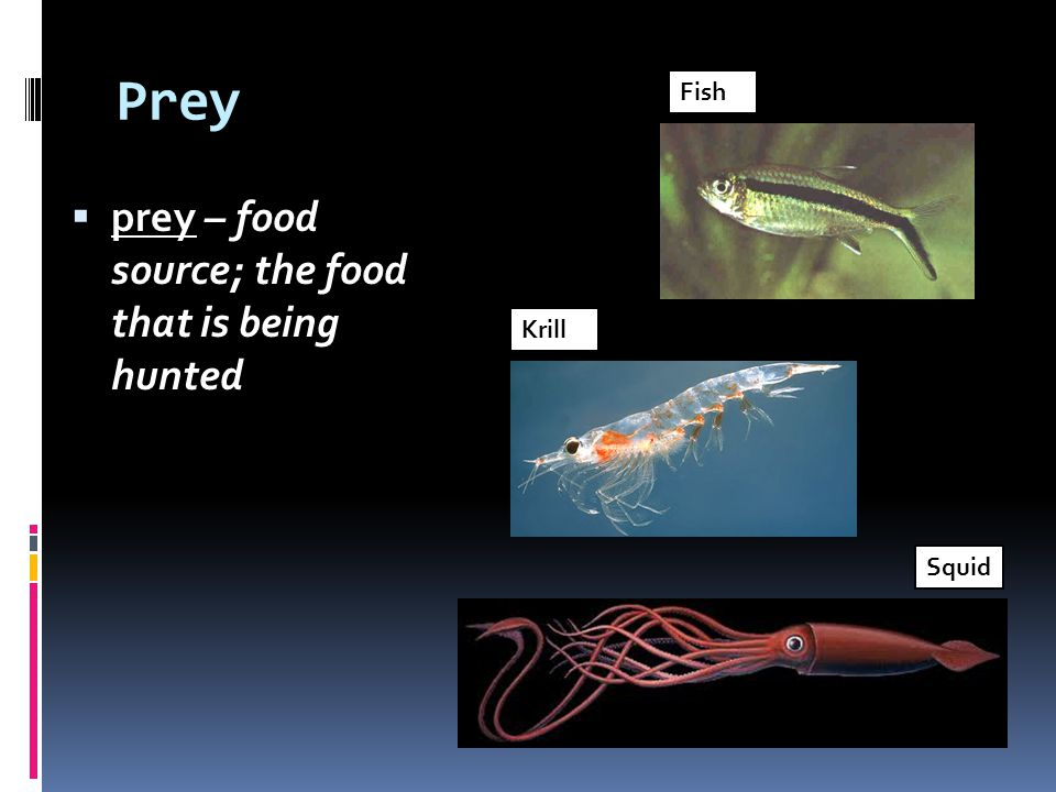 Prey prey – food source; the food that is being hunted Fish Krill