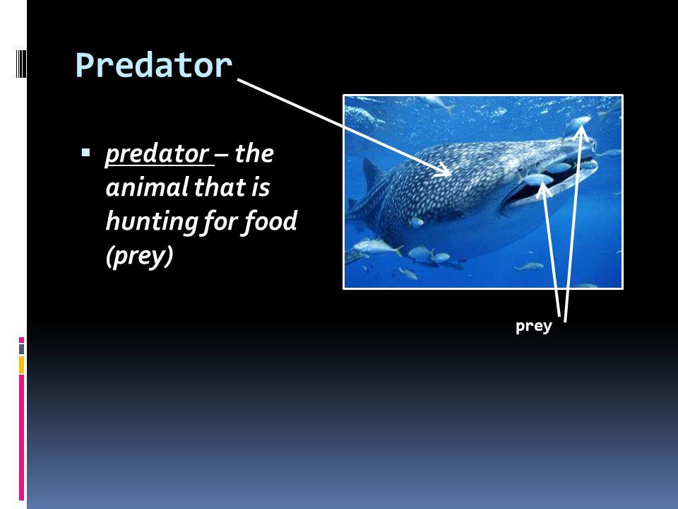 Predator predator – the animal that is hunting for food (prey) prey