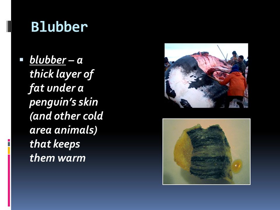 Blubber blubber – a thick layer of fat under a penguin's skin (and other cold area animals) that keeps them warm.