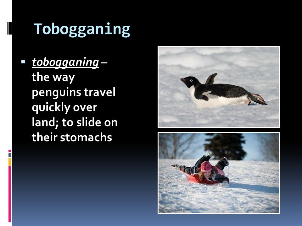 Tobogganing tobogganing – the way penguins travel quickly over land; to slide on their stomachs.